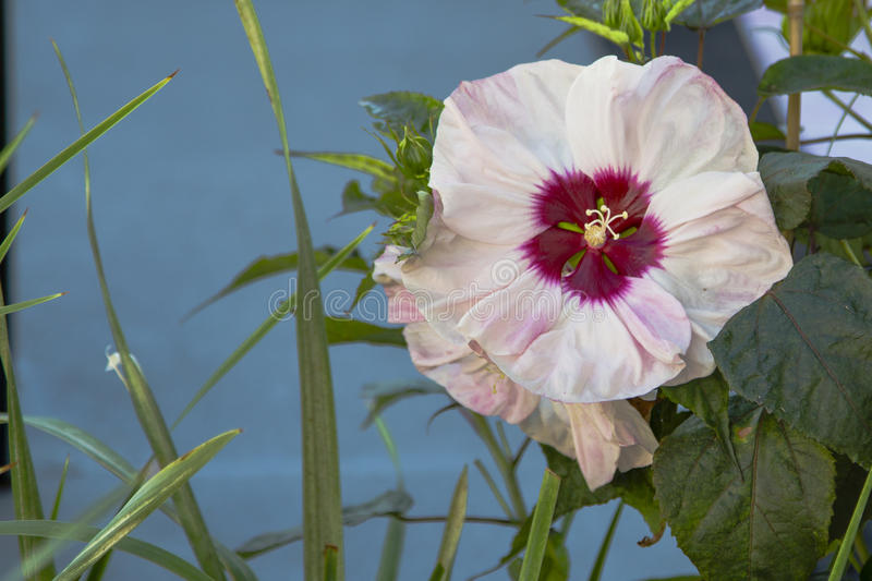 Swamp Rosemallow Hibiscus. This beautiful large pale pink bloom with deep maroon eye at its center blooming amongst leaves is a cold-hardy perennial hibiscus stock images