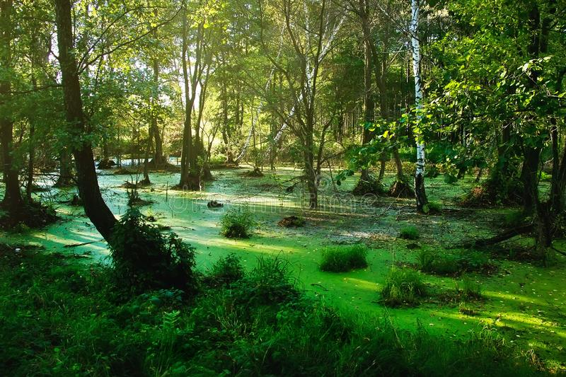 Swamp in the summer forest. Forest landscape in sunny evening royalty free stock photography