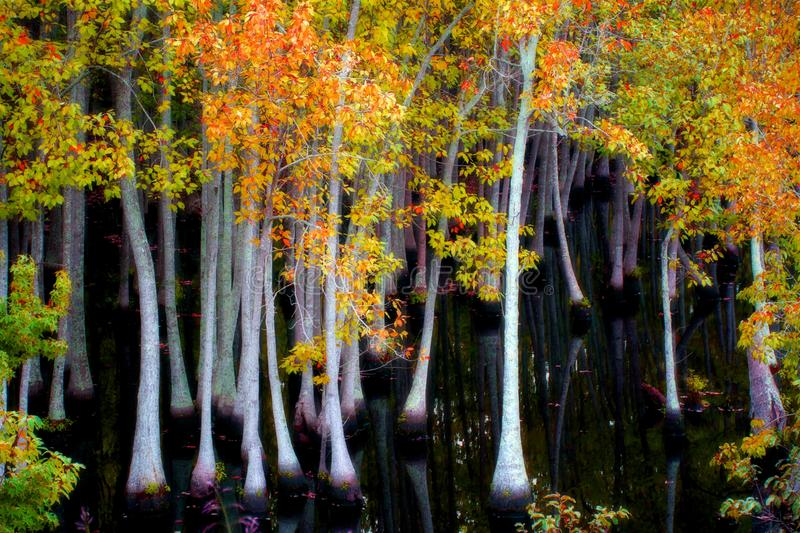 Swamp trees in Fall royalty free stock image