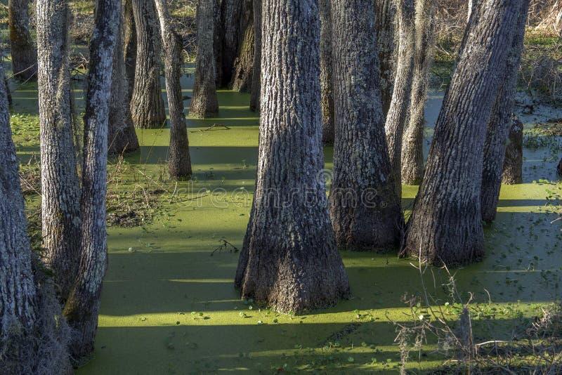 Swamp tupelo trees with duckweed stock photography