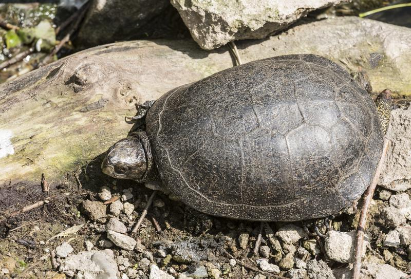 Swamp turtle on the shore of the pond. At summer dday stock photo