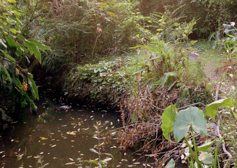Swamp. Vegetation of a swamp vegetacion de un pantano stock photo