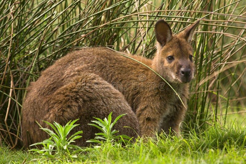 Swamp wallaby stock photos