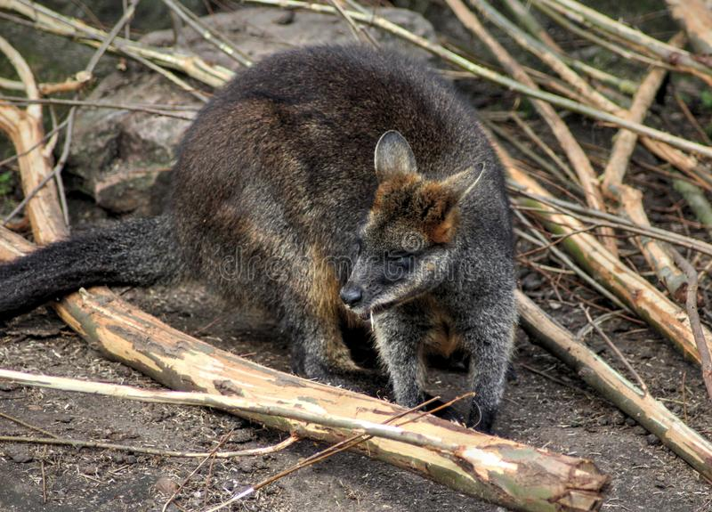 Swamp wallaby royalty free stock photo
