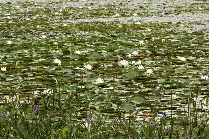 Swamp with water lilies in Nickerson State Park in Massachusetts. Blooming white water-lily plants, Nymphaea odorata, nearly cover a freshwater pond in Nickerson royalty free stock photo
