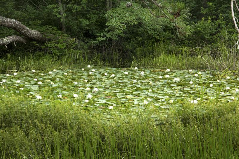 Swamp with water lilies in Nickerson State Park in Massachusetts. Blooming white water-lily plants, Nymphaea odorata, nearly cover a freshwater pond in Nickerson royalty free stock images