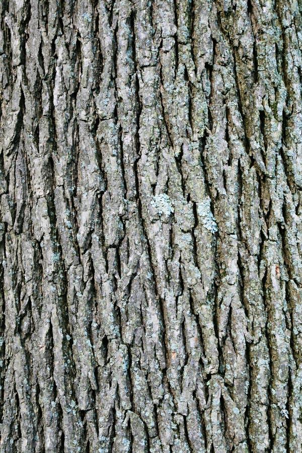Free Swamp White Oak Bark Royalty Free Stock Image - 18263916