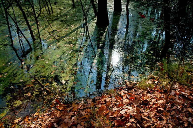 Swamps in forest royalty free stock images