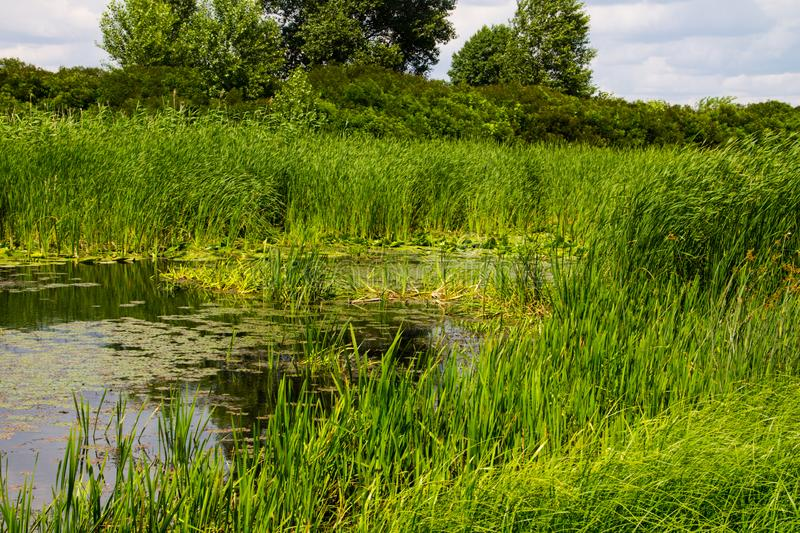 Swampy river overgrown with water plants. Swampy river overgrown with a water plants royalty free stock photos