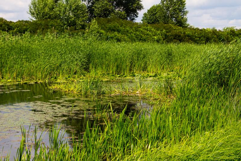 Swampy river overgrown with water plants. Swampy river overgrown with a water plants royalty free stock images