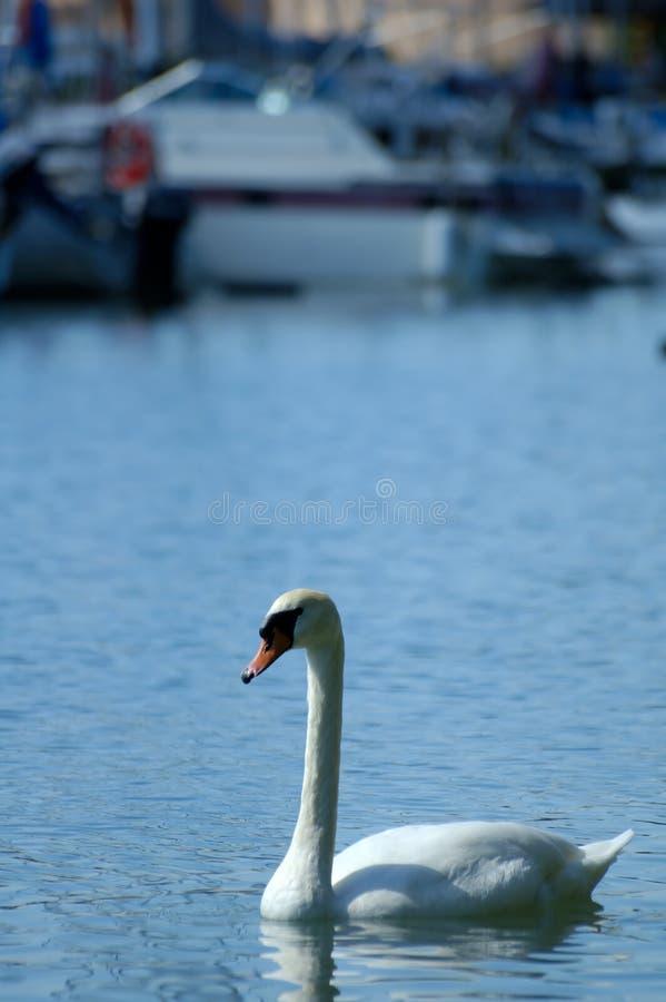 Download Swan stock image. Image of blue, marina, ontario, swans - 103791