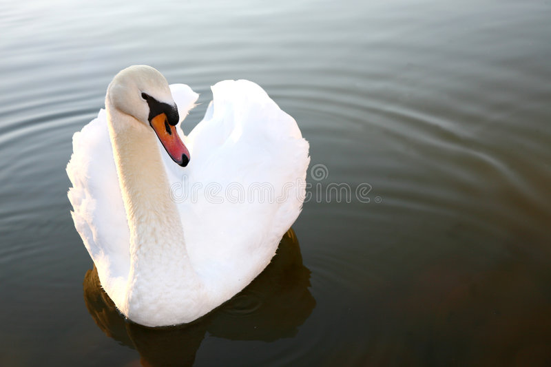 Download Swan stock photo. Image of ripples, bright, shine, contrast - 1091204