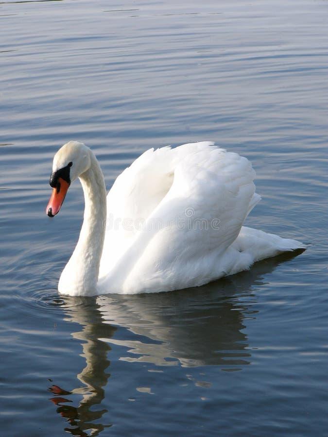 Free Swan Royalty Free Stock Image - 124106
