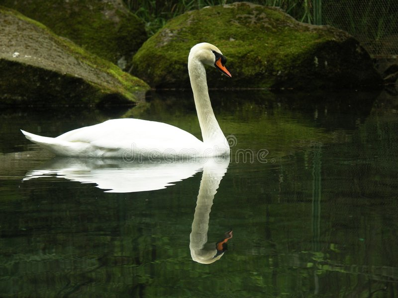 Download Swan stock image. Image of water, outdoors, waterfowl, winged - 168141