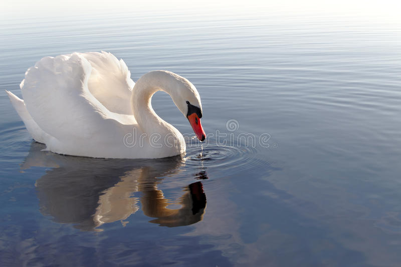 Download Swan. Royalty Free Stock Images - Image: 18032329