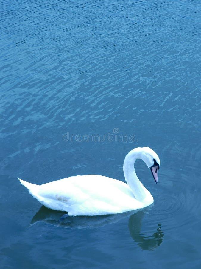 Download Swan stock image. Image of white, swan, swimming, beautiful - 189189