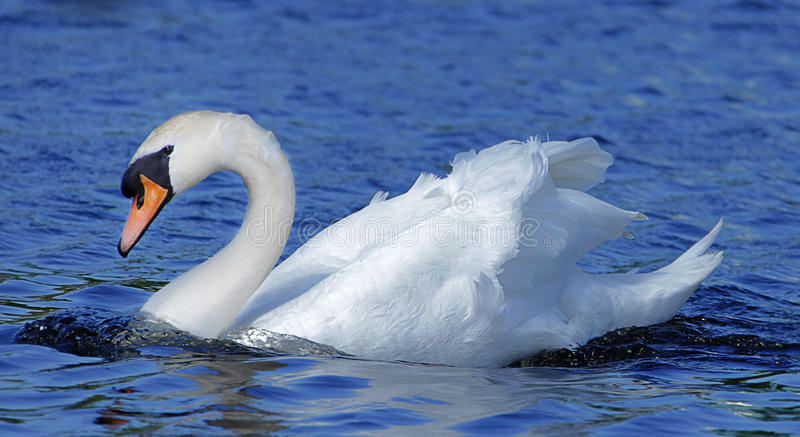 Swan. In clear blue water