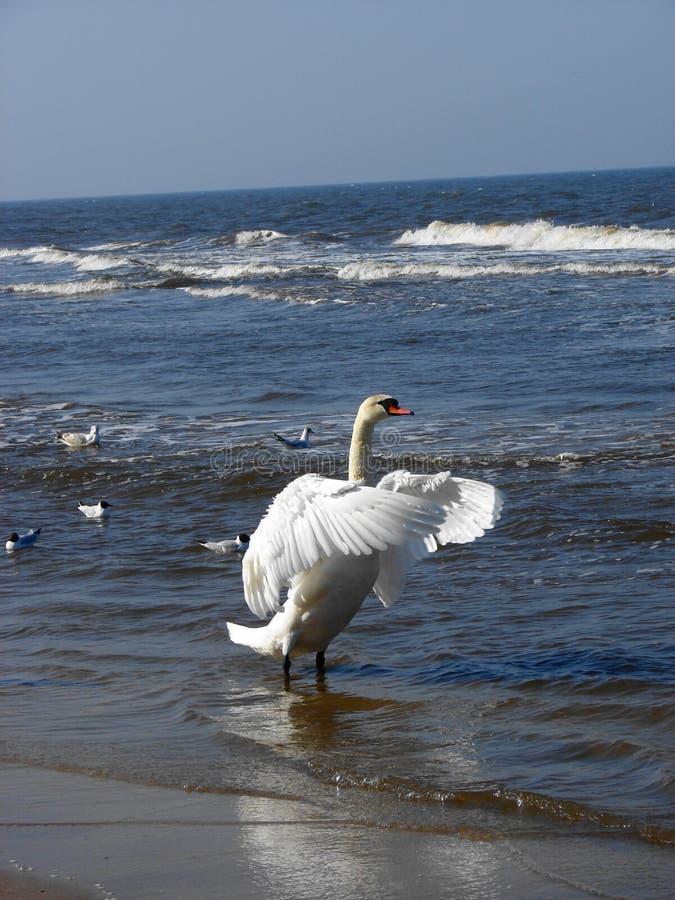 Free Swan 2 Stock Image - 2186151