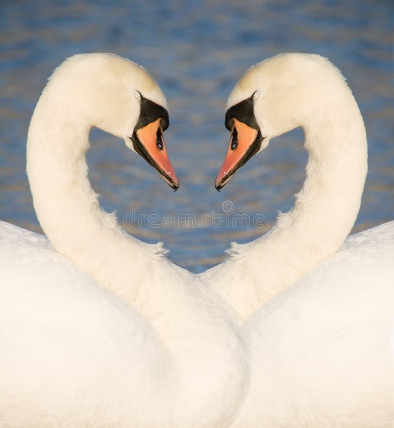 swan 2 zdjęcie royalty free