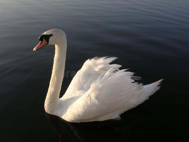 Swan 2 stock photo