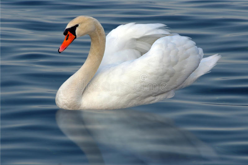 Swan. White swan with reflection on water royalty free stock photos