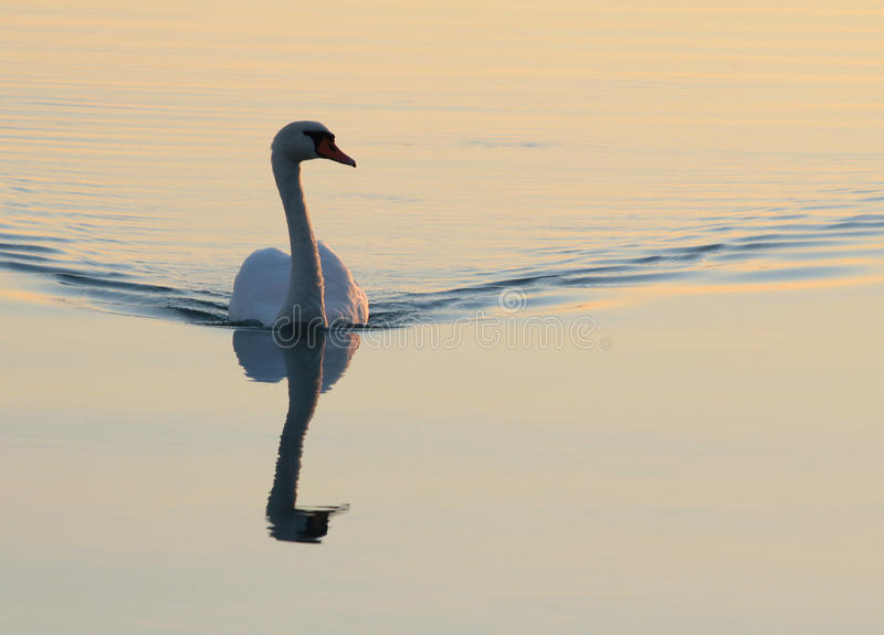 Download Swan stock image. Image of reflection, graceful, waterfowl - 21915917