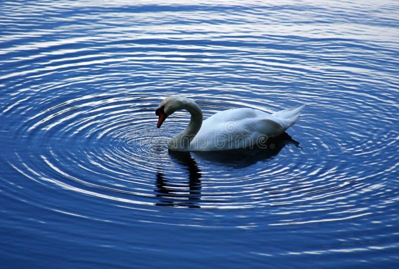 Download Swan fotografering för bildbyråer. Bild av härlig, krusningar - 231943