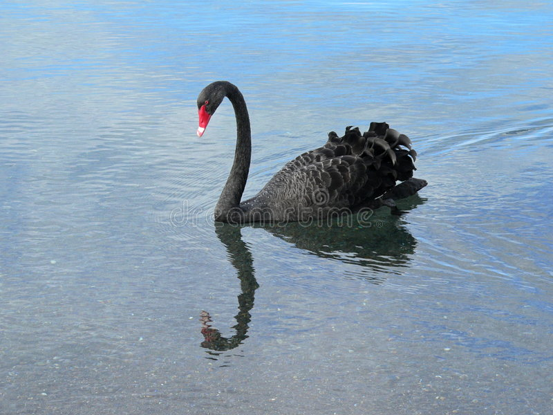 Download Swan stock image. Image of feather, swimming, lake, reflection - 2435661