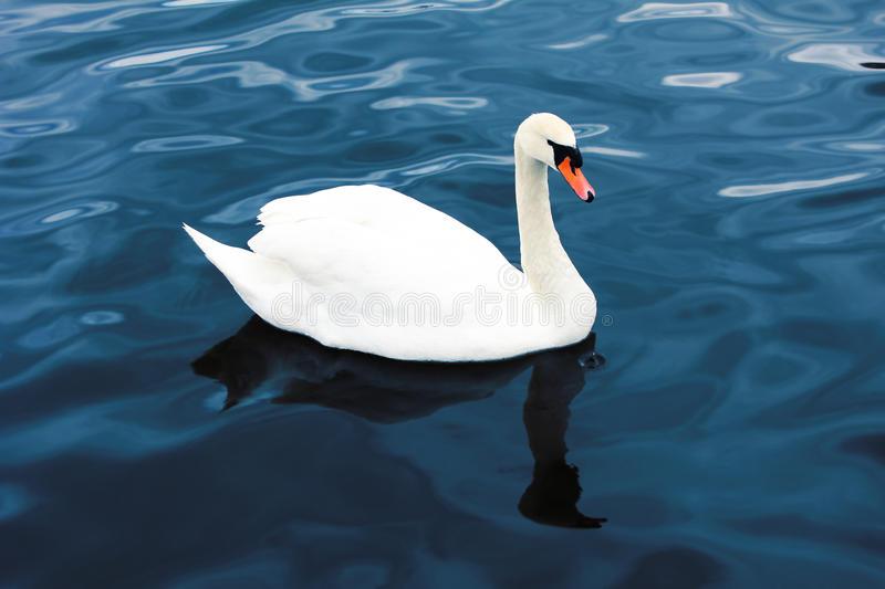 Download Swan stock photo. Image of denmark, park, majestic, beauty - 24486616