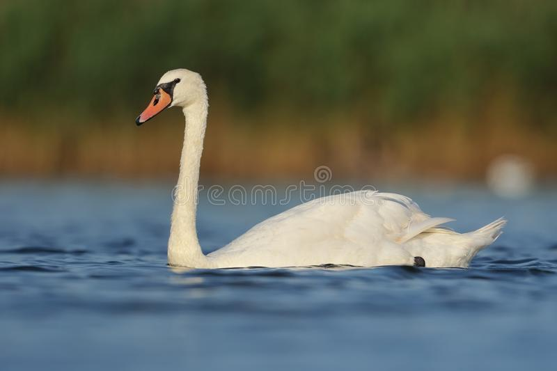 Swan. A swan is floating in the water in front of beautiful background stock photography