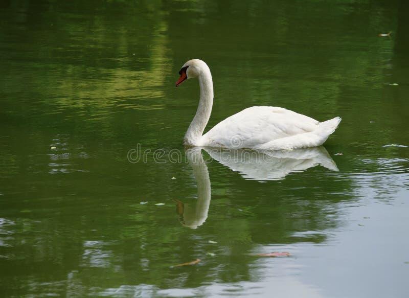 Download Swan arkivfoto. Bild av lake, swan, djurliv, natur, stående - 282290