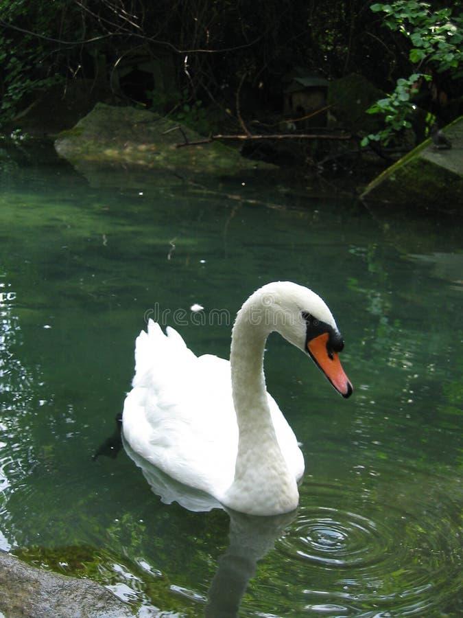 Swan. royaltyfri bild