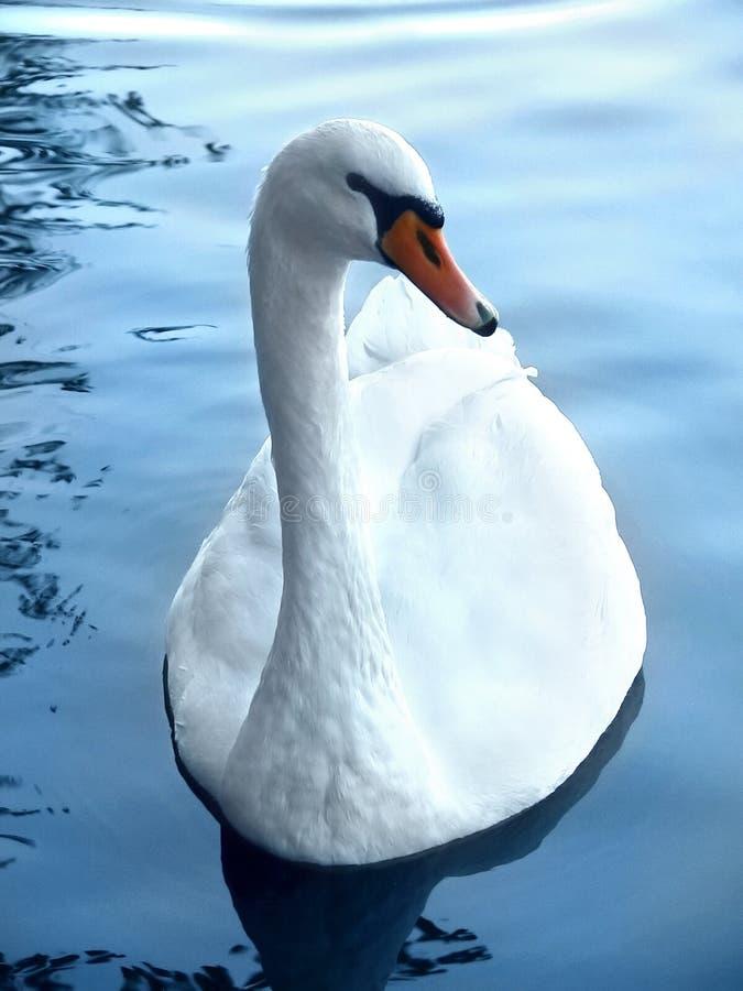 Free Swan Stock Photos - 389773