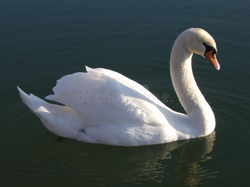 Download A swan stock image. Image of snow, neck, white, going, blue - 468137