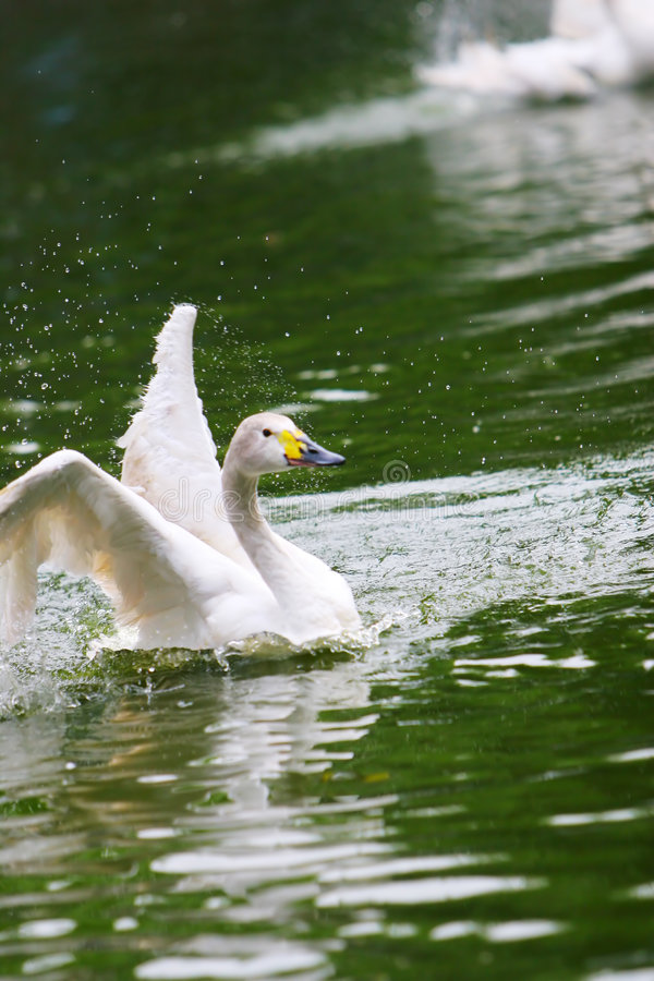 Free Swan Royalty Free Stock Photography - 5310007