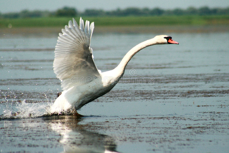 Swan. A nice white swan on the lake royalty free stock photos