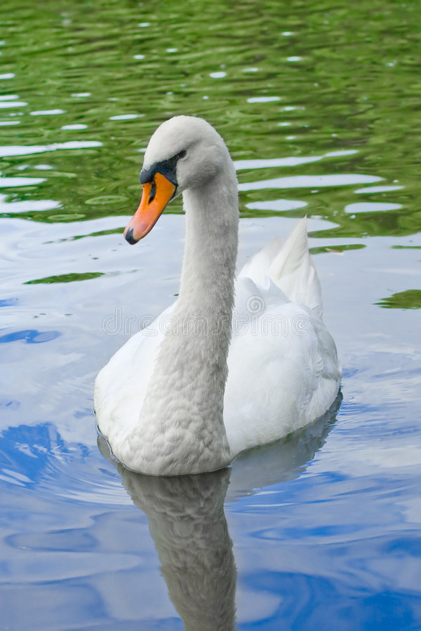 Free Swan Stock Photo - 6031130