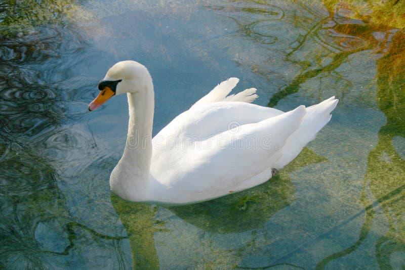 Download Swan stock photo. Image of bird, water, nature, animal, swan - 69778