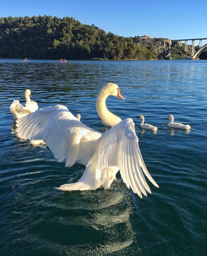 Swan royaltyfri fotografi