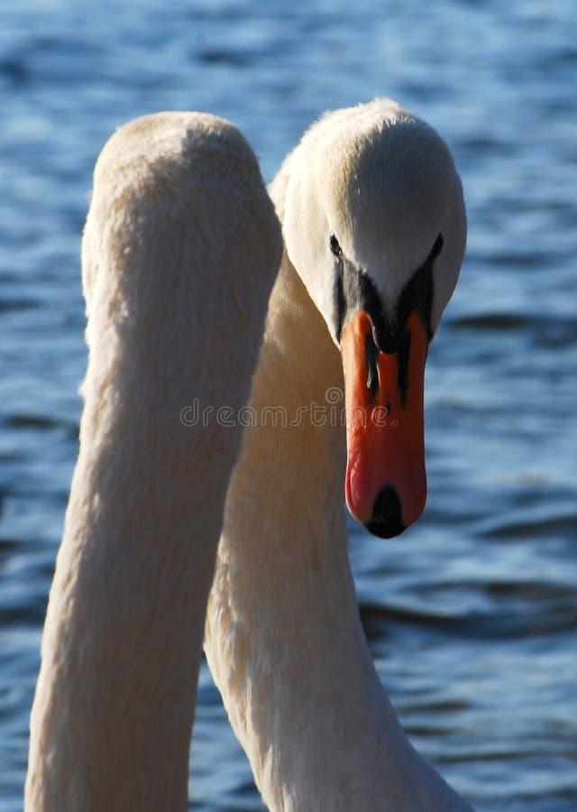 Swan royalty free stock photo