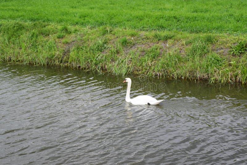 Swan arkivbild