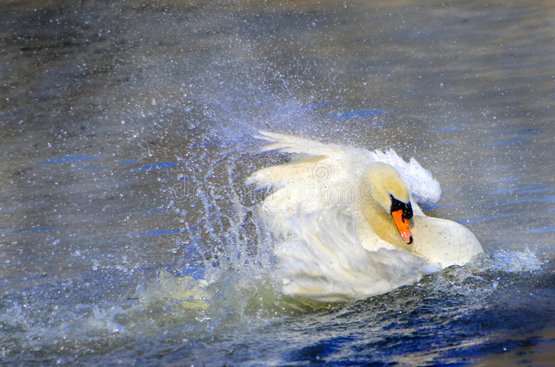 Swan in action stock images