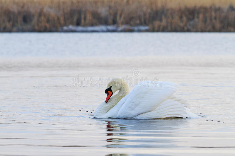 Swan alpha male. Single floating on the lake royalty free stock images