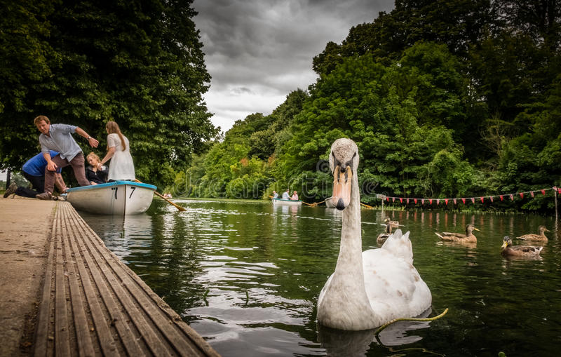 Swan approach royalty free stock photo