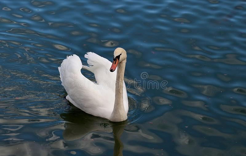 Swan in Austin, Texas royalty free stock photography