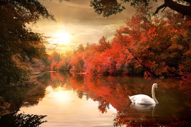 Swan in the autmn stock photos
