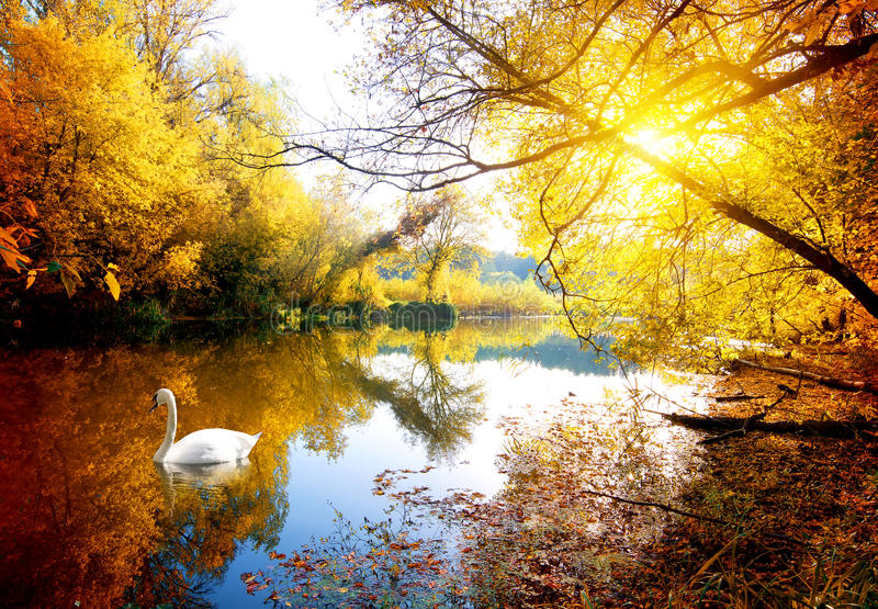 Swan in autumn stock photo