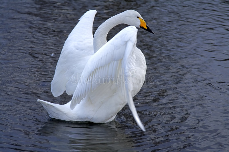 Download Swan ballet stock photo. Image of love, water, beak, river - 1872768