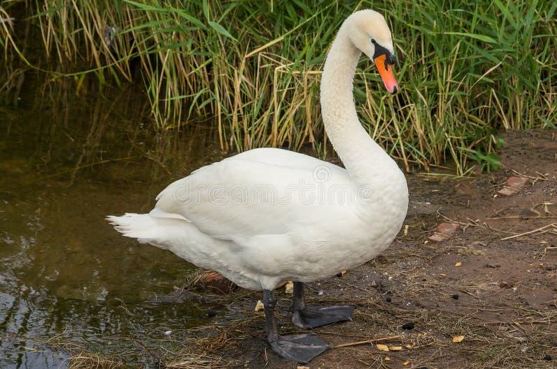 Swan on the bank stock photos