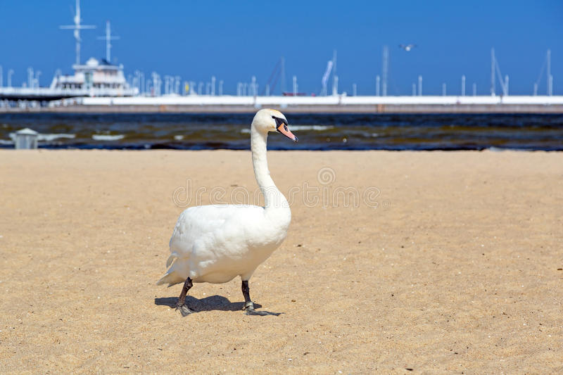 Download Swan on the beach in Sopot stock photo. Image of poland - 31187170